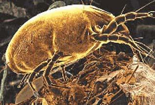 Аллергия на пыль и пылевые клещи